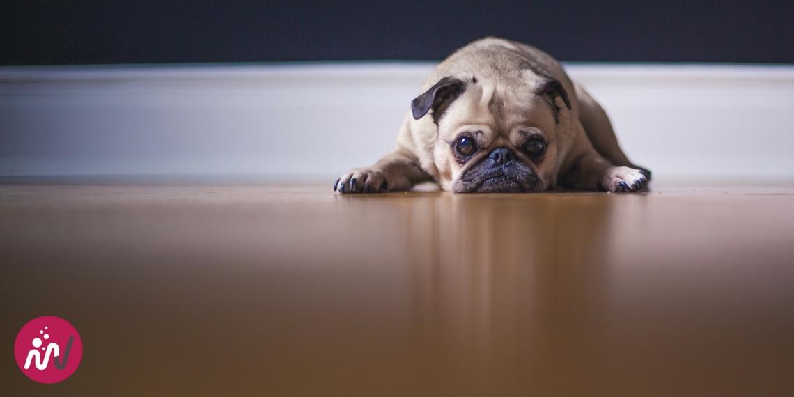 chien qui regarde au loin plutôt blasé