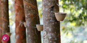 dispositif pour recueillir la seve des arbres